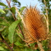 Teasel by busylady