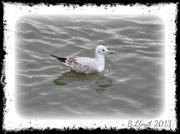 18th Sep 2013 - Lakeside - Gull.