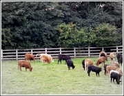 19th Sep 2013 - Cattle