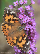 16th Sep 2013 - Painted Lady