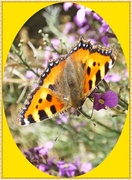 19th Sep 2013 - Small Tortoiseshell Butterfly