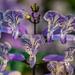 Mona Lavender Plectranthus by kathyladley