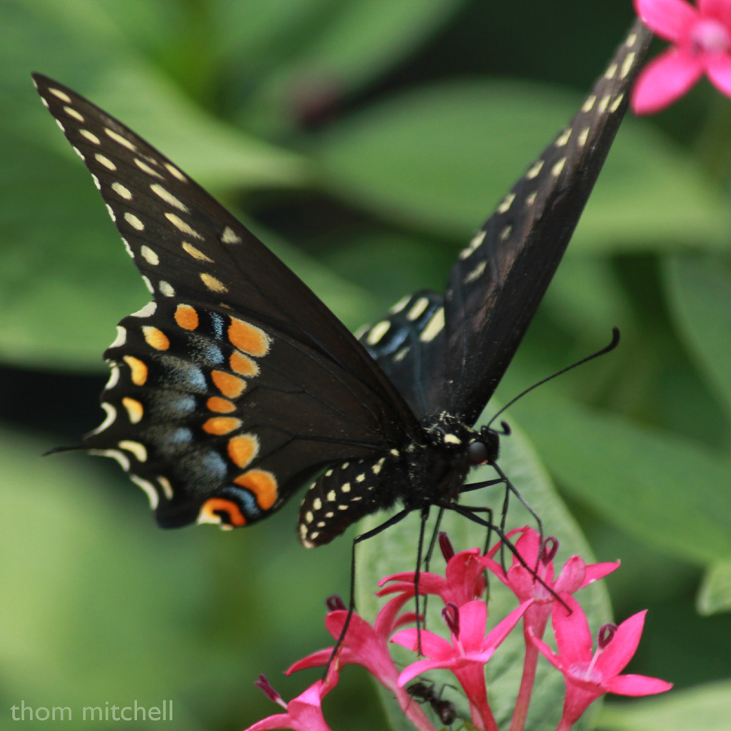 My first Black Swallowtail by rhoing