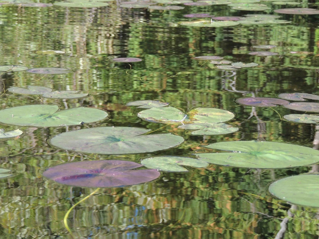 Lily Pads by sunnygreenwood