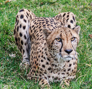 20th Sep 2013 - Cheetah