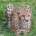 Cheetah by cdonohoue