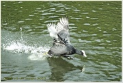 21st Sep 2013 - Bad-tempered Coot