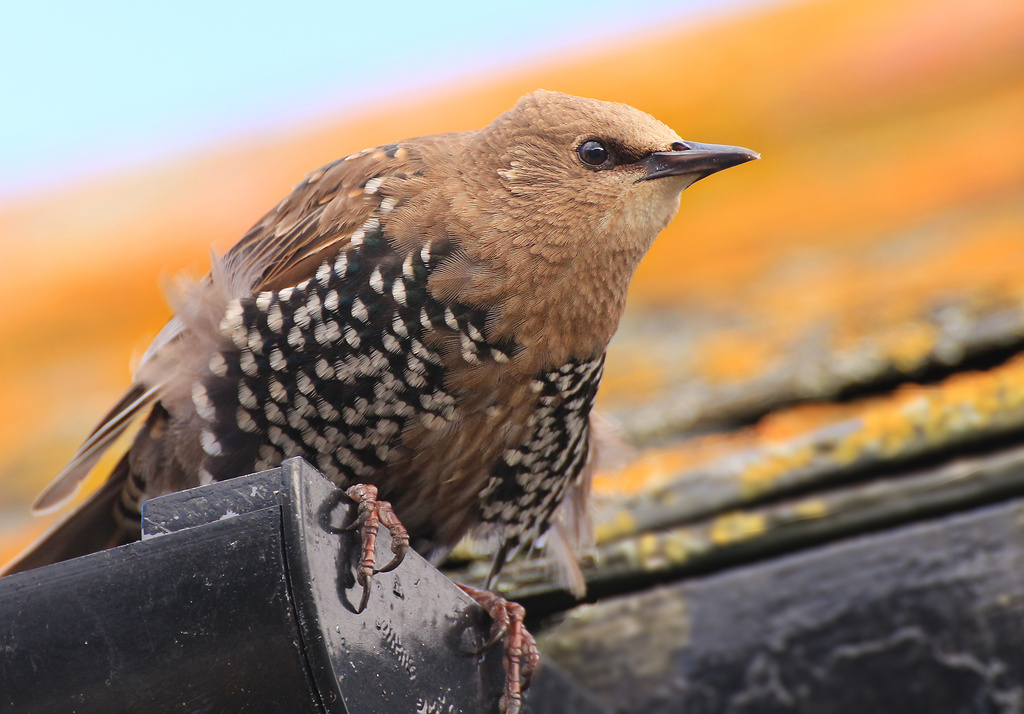 Startled Starling by shepherdmanswife