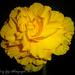 Begonia by tonygig