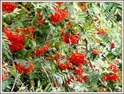 22nd Sep 2013 - Rowan berries