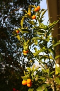 5th Sep 2010 - How many kumquats make a crop?