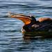 Pelican Feast  by jgpittenger