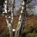 Birch on a heath field by pyrrhula