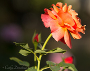 23rd Sep 2013 - Autumn Rose