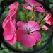 Fish-Eye Geraniums by andycoleborn