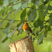 2013 09 25 - Robin by pixiemac