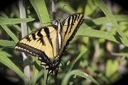 4th Sep 2010 - Sunning Swallowtail