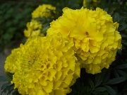 5th Sep 2010 - Marigolds