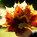 Bouquet of autumn leaves by elisasaeter