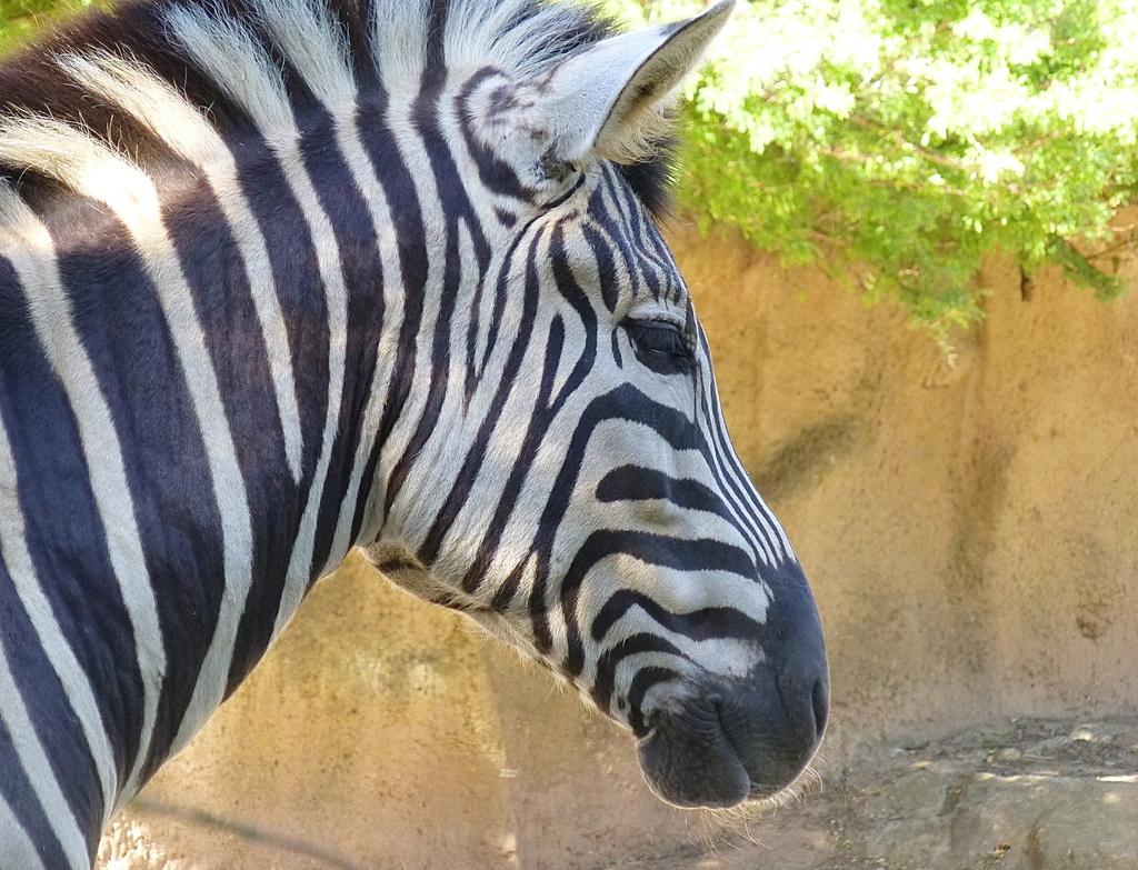 Zebra by kjarn