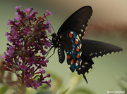 24th Sep 2013 - Pipevine Swallowtail