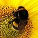 fat bee on sunflower by quietpurplehaze