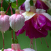 Fuchsia by jankoos