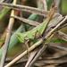 Green hopper by cjwhite