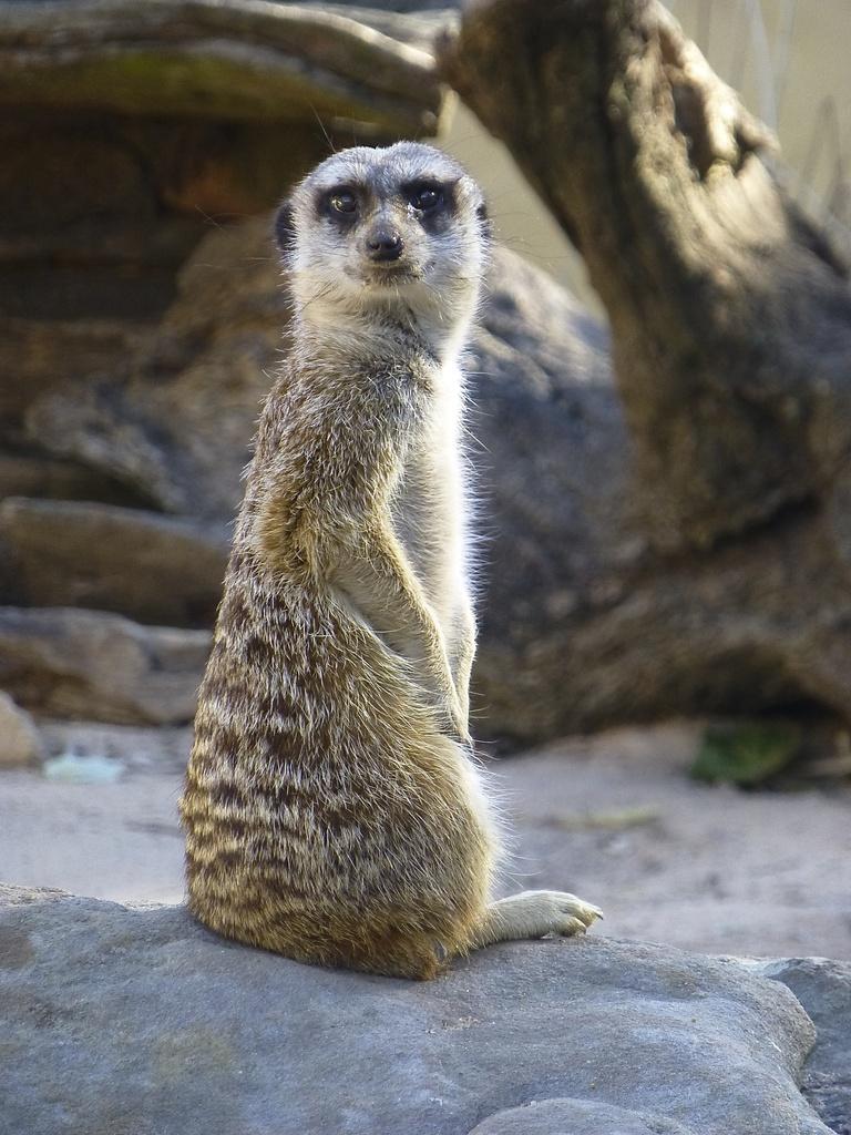 Meerkat by kjarn