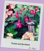 30th Sep 2013 -  Fuchsia & Geraniium
