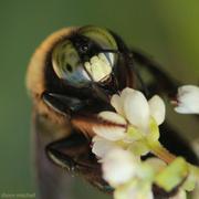 27th Sep 2013 - Eastern Carpenter Bee