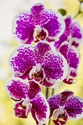 2nd Oct 2013 - pink orchid