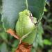 Frog Burrito by cjwhite
