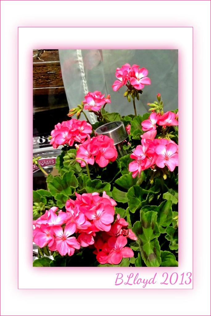 Geraniums by beryl