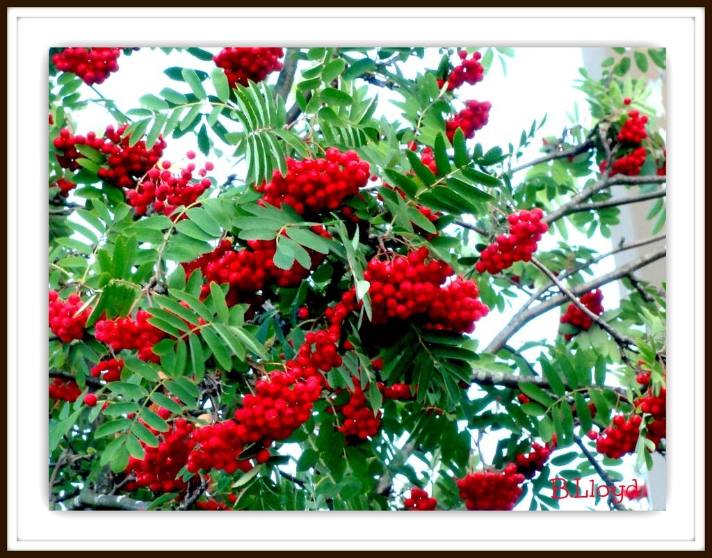 Autumn-Mountain Ash   (also known as Rowan Berry ) by beryl