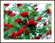 3rd Oct 2013 - Autumn-Mountain Ash   (also known as Rowan Berry )