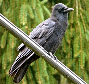 2nd Oct 2013 - Crow on a Bar = Crowbar