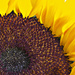 Sunflower by pdulis