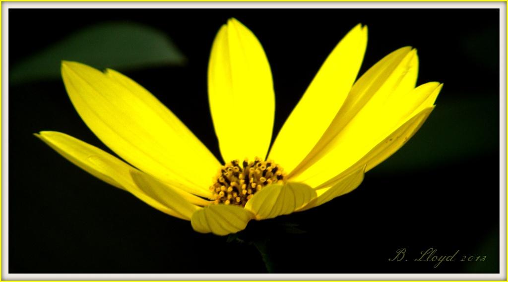 Rudbeckia  by beryl