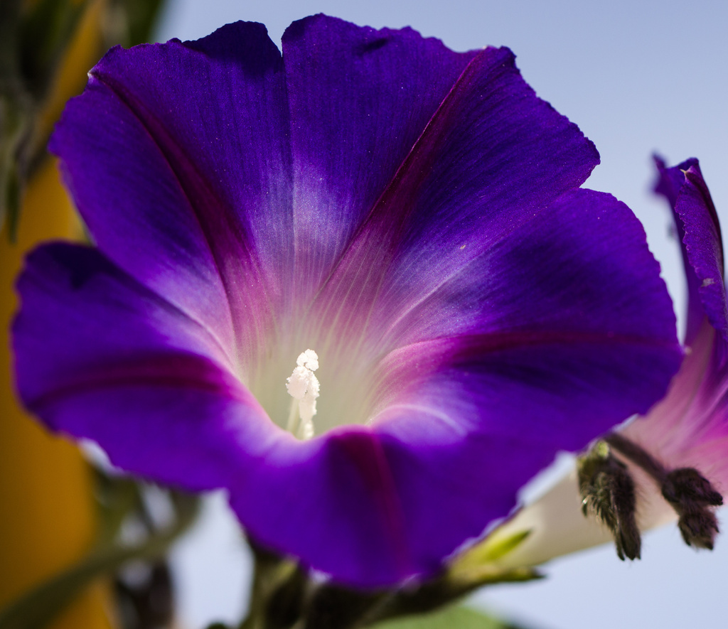 morning glory by aecasey