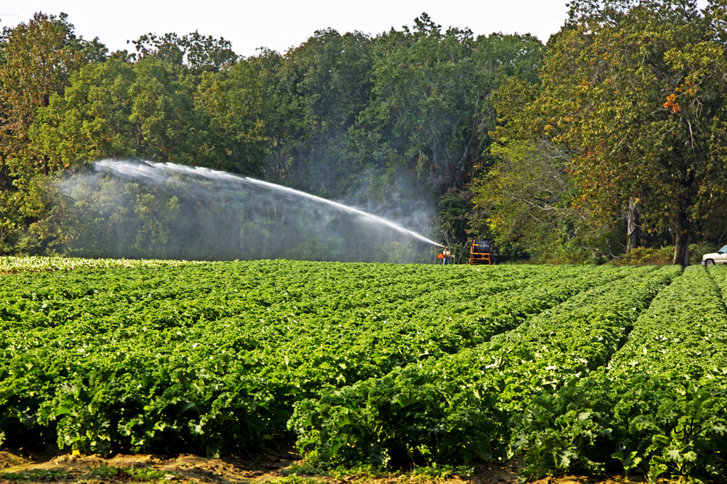 Watering the Kale by hjbenson
