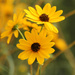 Sweet Coneflowers - a Touch of Color by milaniet
