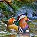 Mandarin Duck by skipt07