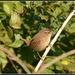 Little wren by rosiekind