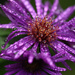 Raindrops on Asters by mzzhope