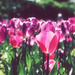 Pink Passion by nicolecampbell