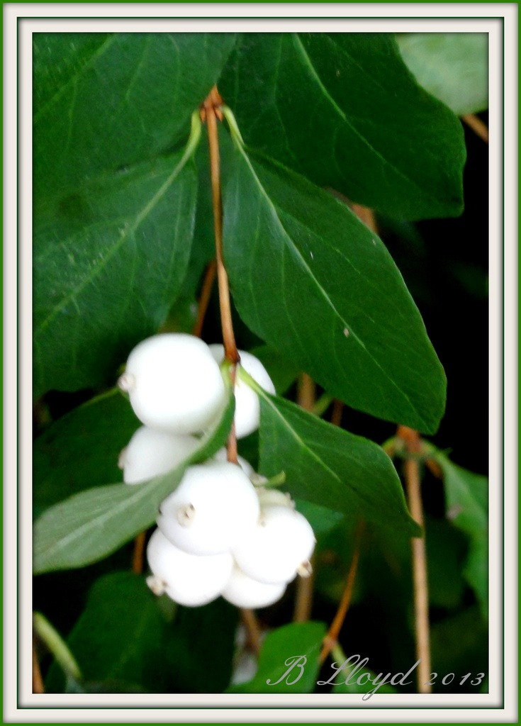 Pure White -but Poisonous  by beryl