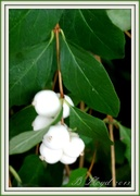 7th Oct 2013 - Pure White -but Poisonous