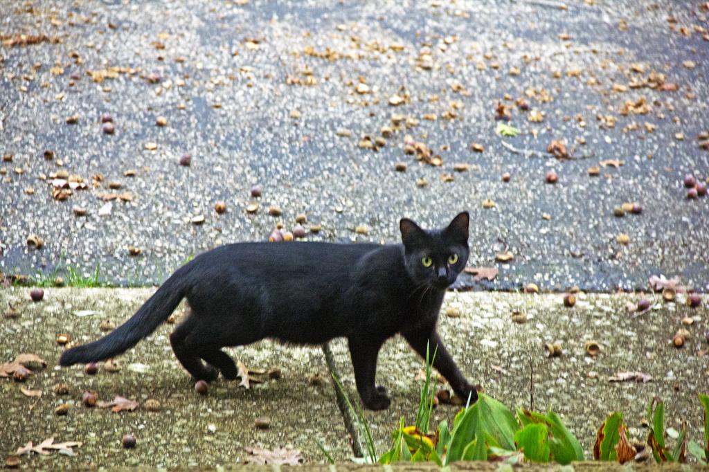 Neighbor's Cat by hjbenson