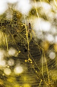 8th Oct 2013 - Golden Orb Weaver